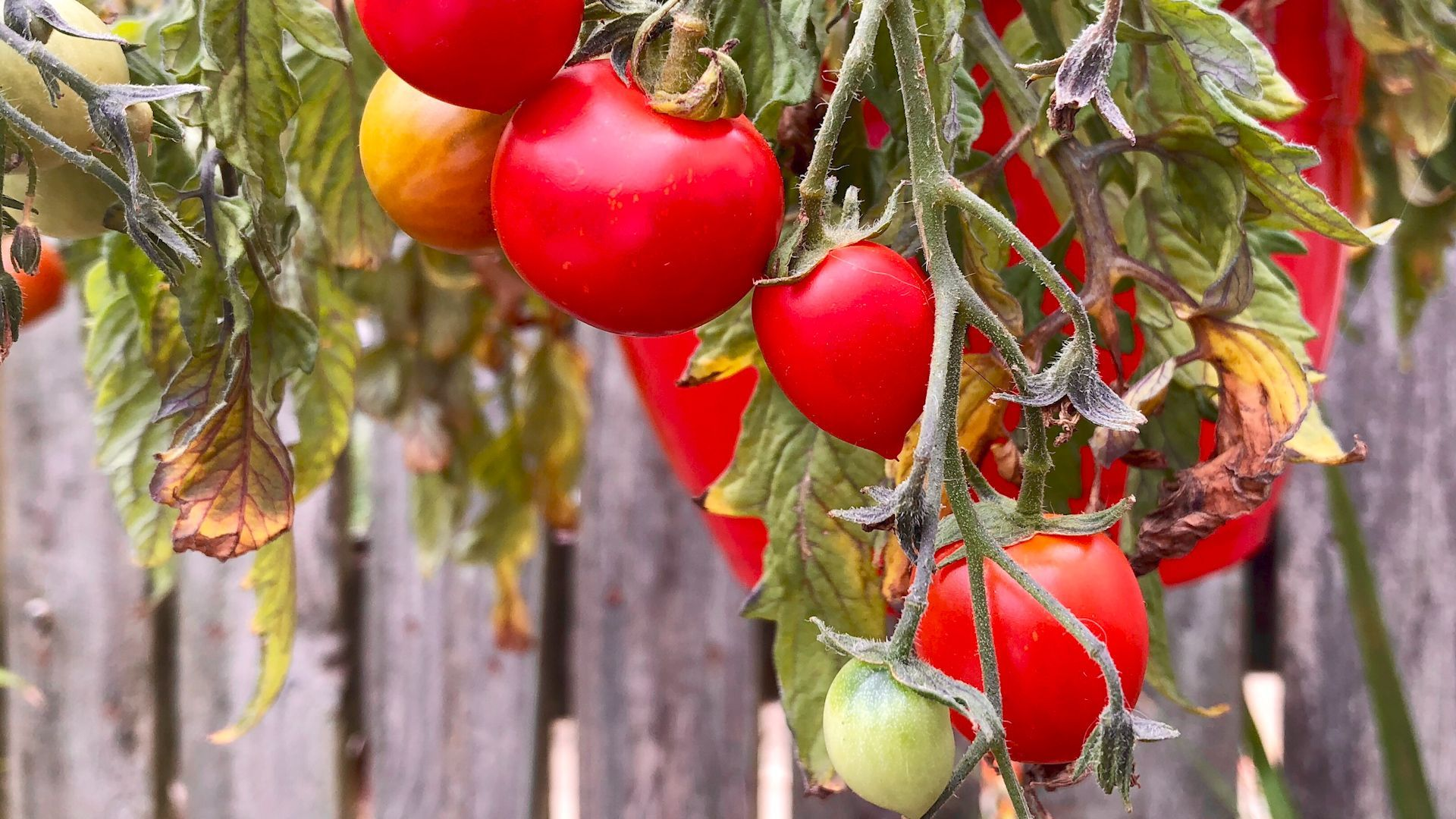 So lassen Sie unreife Tomaten in der Wohnung nachreifen