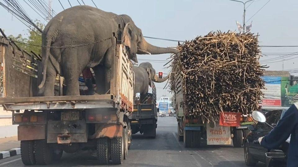 Gelegenheit macht Diebe: Zwei Elefanten stehlen Zuckerrohr von LKW