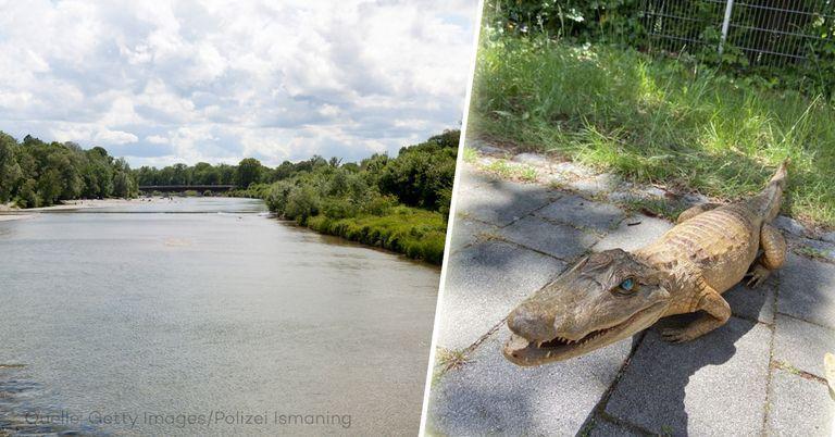 Schock in München: Spaziergänger fischt echten Alligator aus Isar
