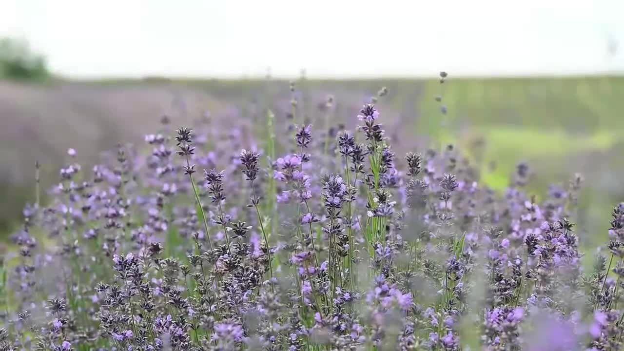 Provence-Feeling in Oberbayern: Lila Blütenmeer bei Lavendel-Ernte